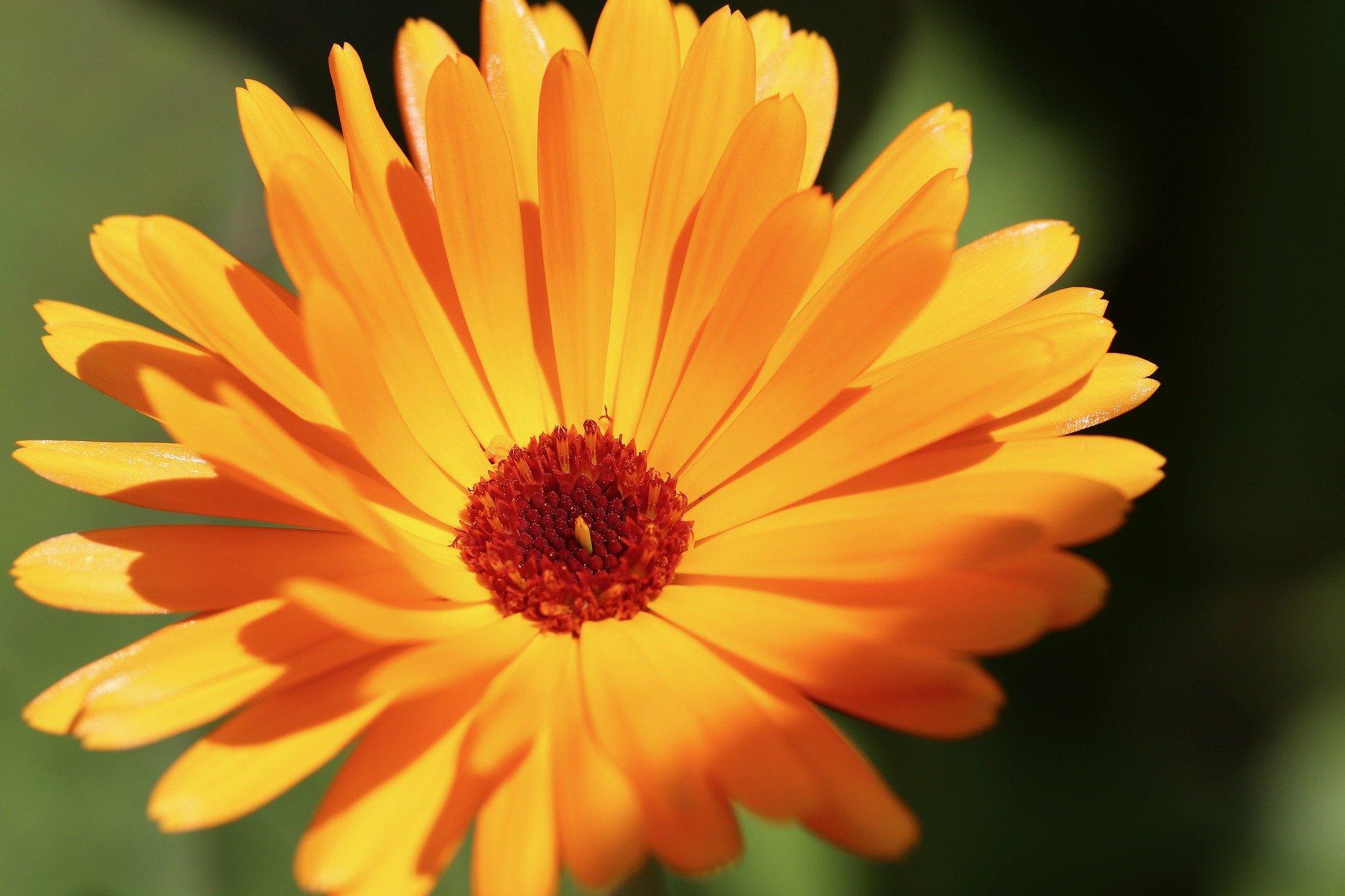 marigold-5404496_1920
